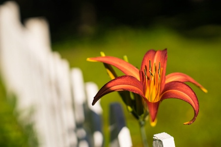 Lily on the Fence.