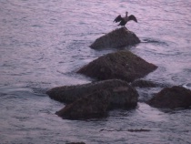 Kormoran at sunse...