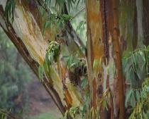 Eucaliptus after ...