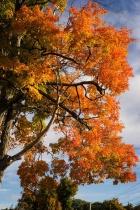 New England Maple...