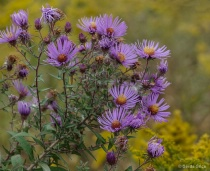 October Asters