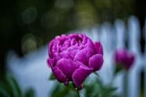 Peony Blossom