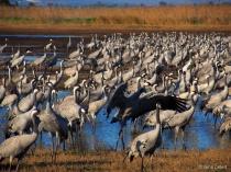 cranes before sun...