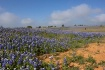 Bluebonnets and C...