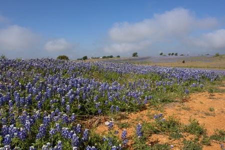 Bluebonnets and Clay