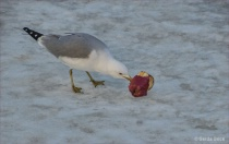 Gull on Ice with ...