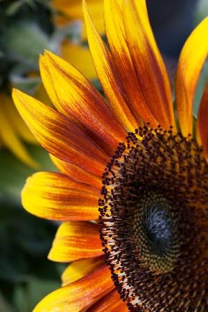 Lil Sunflower