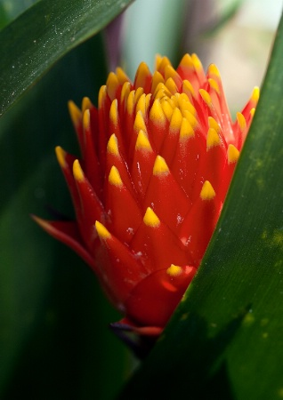Bromeliad Sheltered