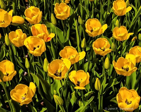 Find the Bleeding Tulip