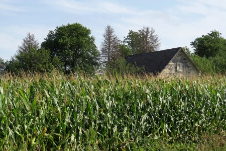 The Corn Is As High.....
