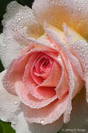 """""""Rose #2"""""""