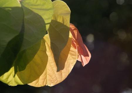 Leaves Backlit