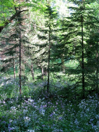 Woodsy Wildflowers
