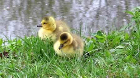 Riverside Goslings
