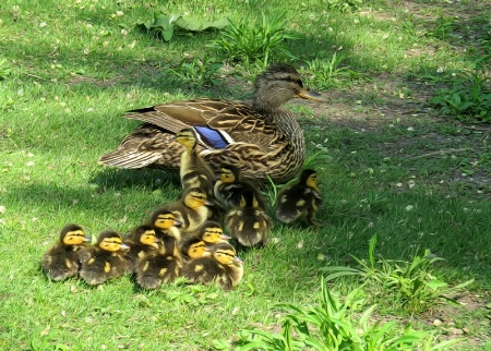 Thirteen Ducklings And A Busy Mom