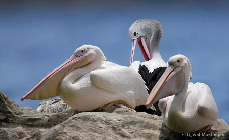 3 Pelicans