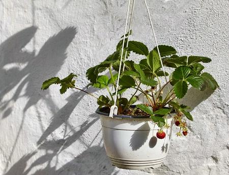 Shadows of Strawberries