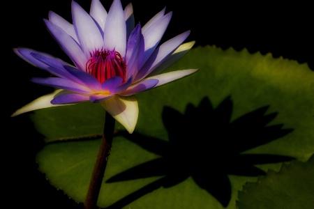 Waterlily Impression