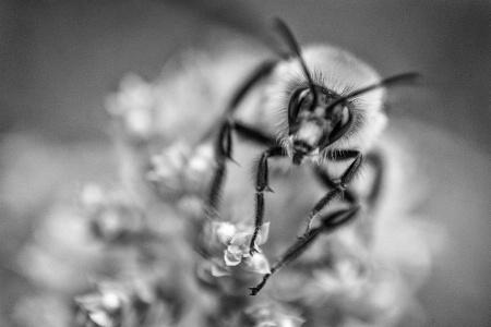 Bumble Bee on Oregano