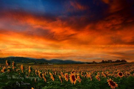 Sun Set and Sunflowers