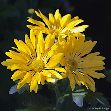 """""""Chrysanthemum #1"""""""