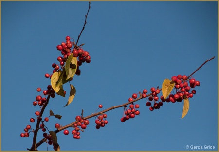 Autumn Berries and Golden Leaves