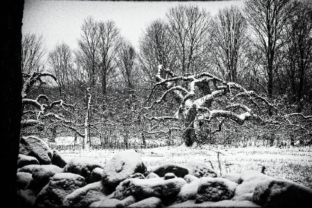 New England Orchard in Snow
