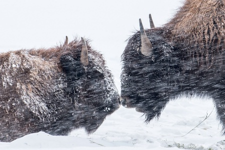 Kissing Buffalo's in a Snowstorm