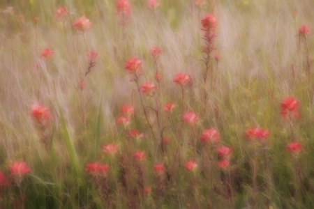 Indian Paintbrush Dreams