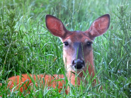 Doe In The Grass