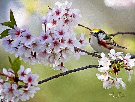 Cherry Blossom Perch