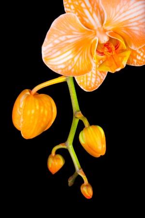 Orange Topaz Orchid