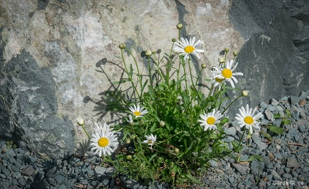Daisies amid Rocks and Stones, NL, Canada