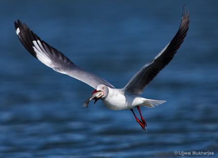 A Seagull in Lake Naivasha