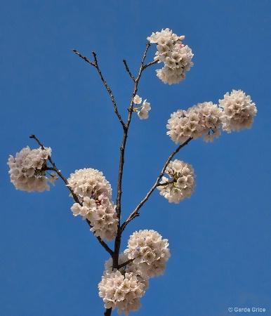 Cherry Blossom Pom Poms