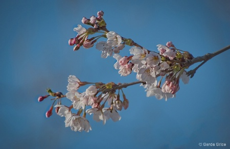 Fragile Cherry Blossoms