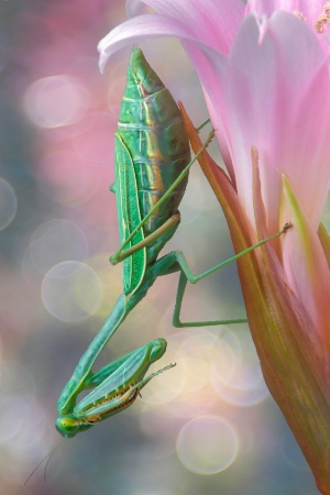 Mantid on Lily