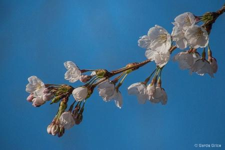Delicate Cherry Blossoms