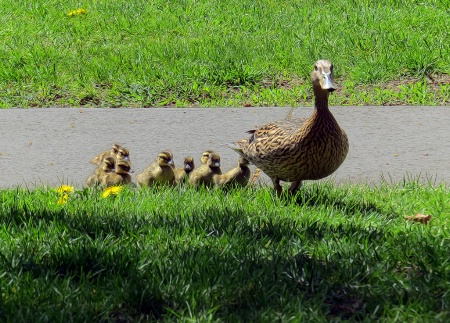 Mama Mallard And The Kiddos