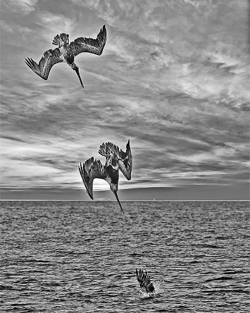 Pelican Diving for Food, Sunset, Pamlico Sound, NC