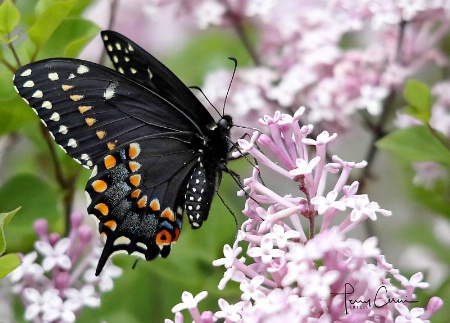 Swallowtail Loves Lilac