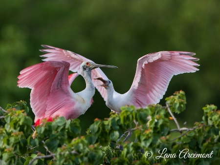 Roseate Spoonbill Feeding Time