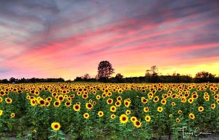 Setting Sun-Flowers