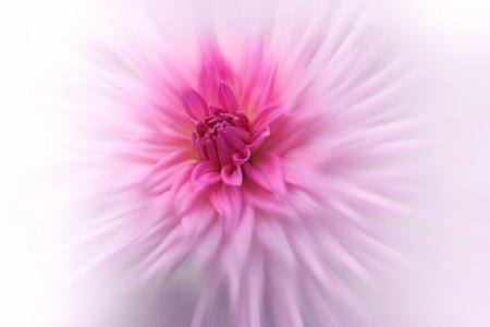 Pink Dahlia Sunburst