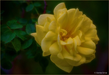 Radiant Yellow Rose