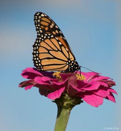 Monarch on Pink Zinnia