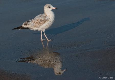 Gull Strutting Along the Beach