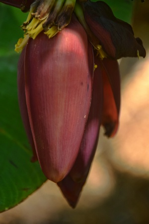 ANOTHER  BANANA  FLOWER