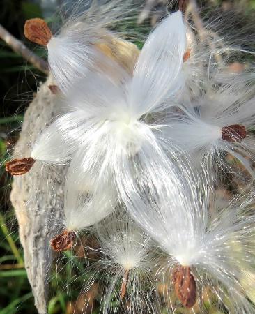Milkweed Fluff