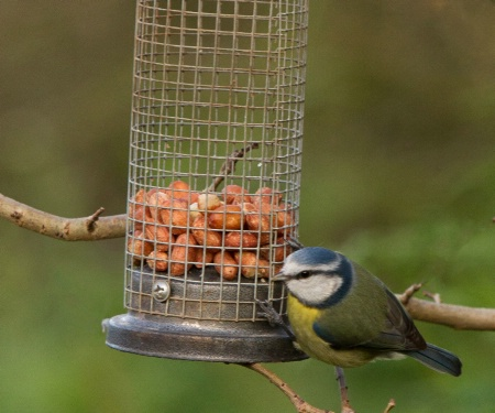 Blue Tit on the Feeder